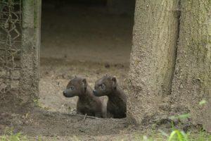 hyenas2